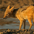 Stock Photo: Drinking Jackal