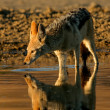 Stock Photo: Drinking black-backed Jackal