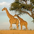 Giraffes — Stock Photo #5487284