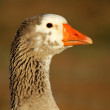 Goose portrait - Stock Photo