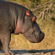 Hippopotamus — Stock Photo #5487455