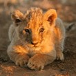 Lion cub — Stock Photo #5487577