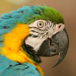 Stock Photo: Blue-and-yellow Macaw