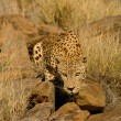 Male leopard — Stock Photo #5487637