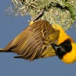 Stock Photo: Masked Weaver