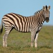 Plains Zebra — Stock Photo #5487933