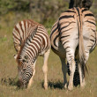 Plains Zebras — Stock Photo #5487966