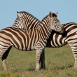Plains Zebras — Stock Photo #5487972