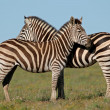 Stock Photo: Plains Zebras