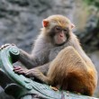 Rhesus macaque monkey — Stock fotografie
