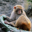 Rhesus macaque monkey — Stockfoto