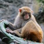 Rhesus macaque monkey — Stock Photo #5488079