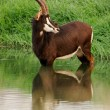 Sable antelope - Stock Photo