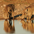 Warthogs drinking — Stock Photo #5488837