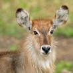 Waterbuck portrait — Stock Photo #5489045