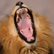 Yawning male African lion — Stock Photo