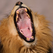 Yawning male African lion — Stock Photo #5489382