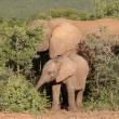 Young African elephant — Stock Photo #5489510