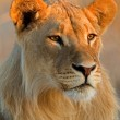 Young male lion — Stock Photo