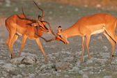 Black-faced Impalas — Stock Photo
