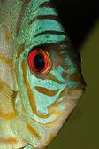 Blue discus fish — Stock Photo