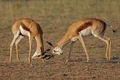 Fighting Springbok — Stock Photo