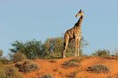 Giraffe auf düne — Stockfoto
