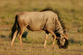 Grazing blue wildebeest — Stock Photo