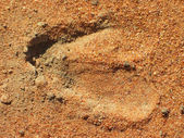 Hoof imprint — Stock Photo