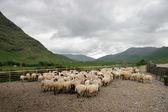 Ovejas de montaña irlandesas — Foto de Stock