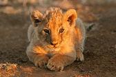 Lwiątko — Zdjęcie stockowe