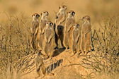 Meerkat family, Kalahari desert, South Africa — Stock Photo
