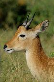 Antilope puku — Photo