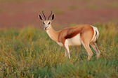 Springbok antelopes — Stock Photo