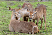 Waterbuck family — Stock Photo