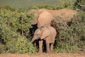 Junge afrikanische elefanten — Stockfoto