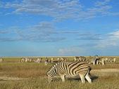 Zebra herd — Stockfoto