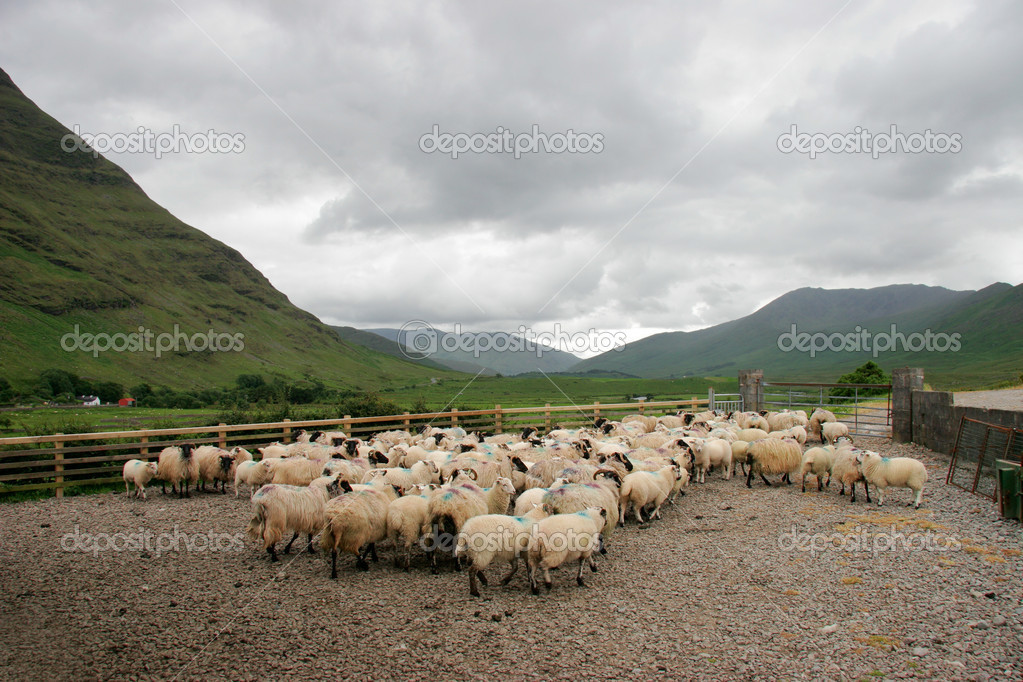 Black-headed Irish mountain sheep 	  Stock Photo #5487521