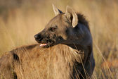 Spotted hyena portrait — Stock Photo