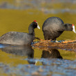 Redknobbed coots — Stock Photo