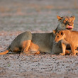 Lioness with cub — Stock Photo
