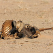 Wildebeest carcass - Stock Photo
