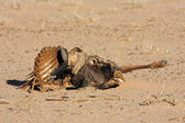 Wildebeest carcass — Stock Photo