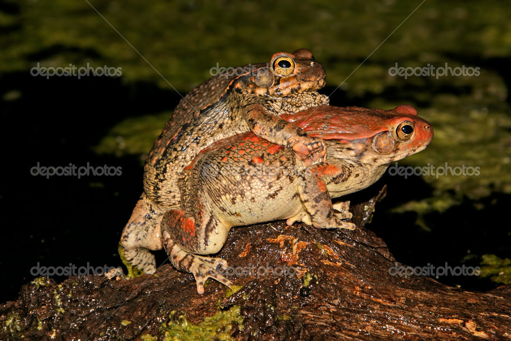 Mating red toads (Schismaderma carens), South Africa	  Stock Photo #5652580