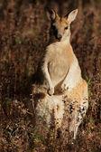 Wallaby agile — Foto Stock