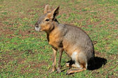 Patagonian mara — Stock Photo
