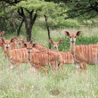 Nyala antelopes — Stock Photo