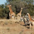 Giraffes and zebras — Stock Photo #6055777