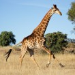 Running giraffe - Stock Photo