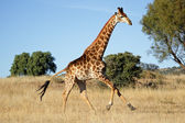 Running giraffe — Stock Photo
